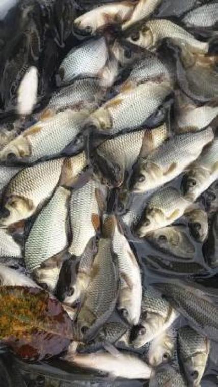فروش ویژه بهترین بچه ماهی گیلان به تمام ایران